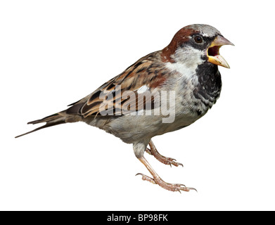 Homme in front of white background, isolé. Moineau domestique (Passer domesticus) Banque D'Images