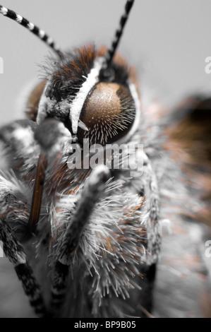 D'un plan macro papillon porte-queue Juniper