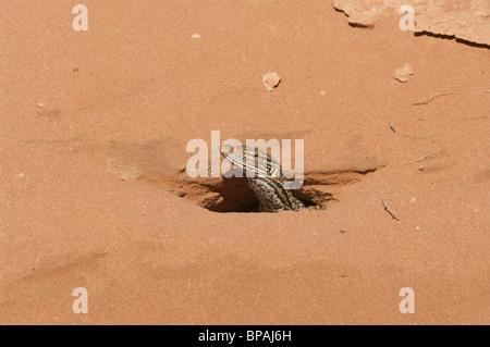 Un moniteur de sable alias Gould le moniteur (Varanus gouldii) piquer la tête d'un terrier dans le sable rouge de Banque D'Images