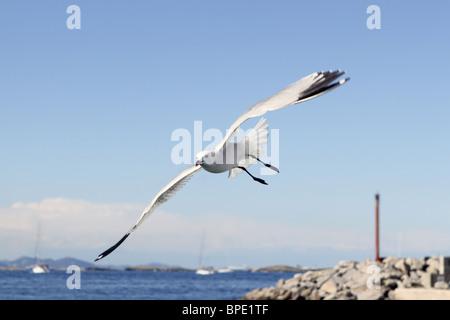 Mouettes volantes sur Formentera îles baléares l'été port Banque D'Images