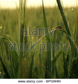 Spider assis sur une feuille d'orge tôt un matin d'été Banque D'Images