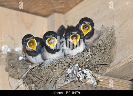 Hirondelle rustique Hirundo rustica les jeunes au nid le CLAJ Norfolk Septembre Banque D'Images