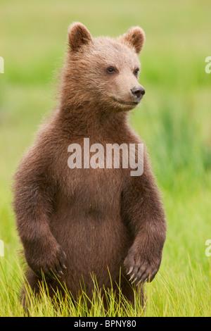 Une couleur brune ou Grizzly Bear cub, Lake Clark National Park, Alaska. Banque D'Images