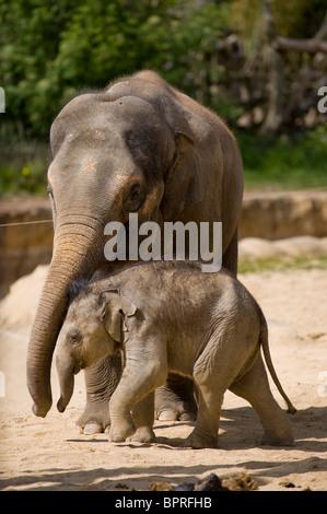 Les jeunes veaux de l'éléphant d'Asie (Elephas maximus) avec elle mère en captivité au Zoo Tywcross, Leicestershire, Angleterre