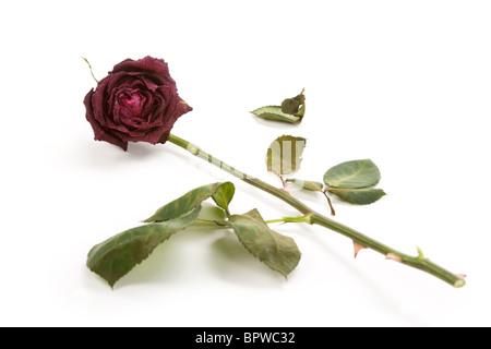 Red dead rose, concept de l'amour perdu
