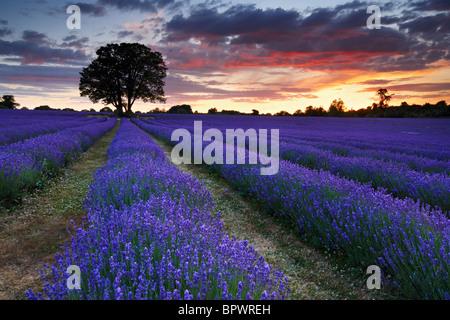 Une belle soirée d'été à donnant sur Lavender Farm. Banque D'Images
