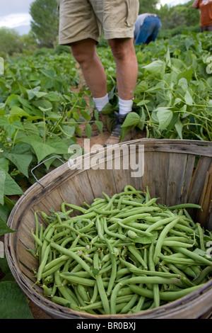 Panier plein de haricots verts fraîchement cueillis en face de l'ouvrier agricole Banque D'Images