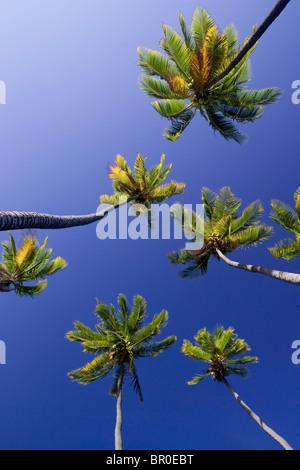 Un low angle view of palm trees (Arecaceae) dans la palmeraie de Kamehameha sur Molokai, Hawaï. Banque D'Images