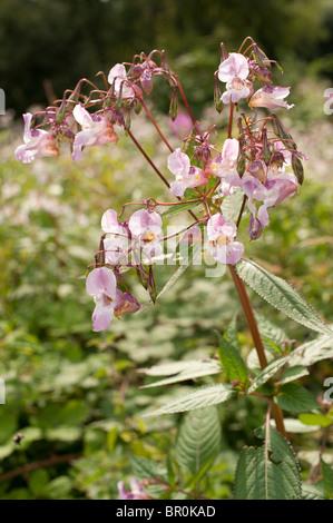 Balsamine de l'himalaya fleurs en fleur, le Pays de Galles UK