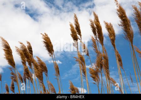 Sheafs blé au vent avec ciel bleu et nuages dans l'arrière-plan Banque D'Images
