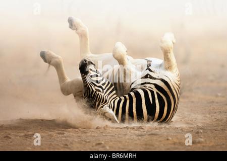 Zebra roulant sur le sable poussiéreux tôt le matin; le parc d'Etosha Banque D'Images