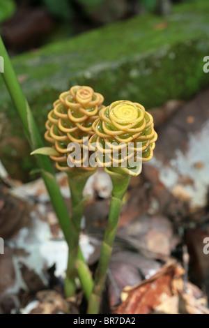 Fleurs exotiques vus dans la forêt tropicale du Panama. Banque D'Images