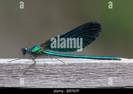 Belle Demoiselle; Calopteryx virgo, mâle Banque D'Images
