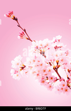 Close-up of cherry blossoms Banque D'Images