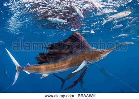 Voilier de l'{} Istiophorus albicans appât ball attaque de sardines espagnol Sardinella aurita {} au large de la Banque D'Images