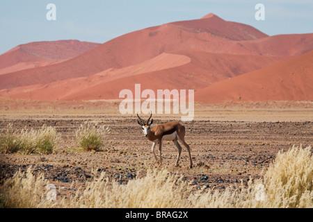 Le Springbok (Antidorcas marsupialis) dans le désert du Namib à Sossusvlei, Namib-Naukluft Park, Namibie, Afrique Banque D'Images