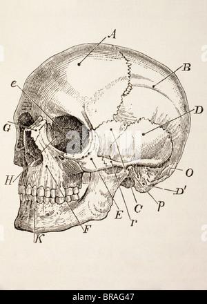 Le crâne humain. Banque D'Images
