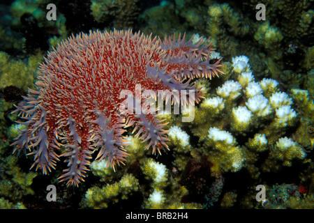 La couronne d'épines, d'étoile de mer Acanthaster ellisii, les coraux durs, mer de Cortez, Mexique Banque D'Images