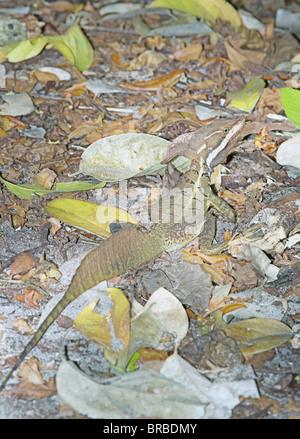 Jésus Christ de basilisk (basiliscus basiliscus) en forêt tropicale, Parc National Manuel Antonio, Costa Rica, Amérique Banque D'Images