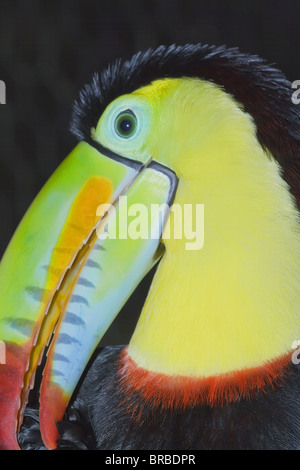 Keel-billed toucan (Ramphastos sulfuratus), Costa Rica, Amérique Centrale Banque D'Images