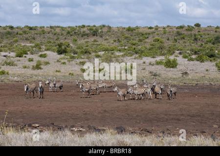Et les zèbres de Grévy (Equus quagga) (Equus grevyi), Loisaba Wilderness Conservancy, Laikipia, Kenya, Afrique de Banque D'Images