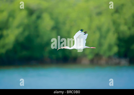 Roseate spoonbill (Ajaia ajaja) en vol, l'île de Sanibel, J. N. Ding Darling National Wildlife Refuge, Floride, Banque D'Images