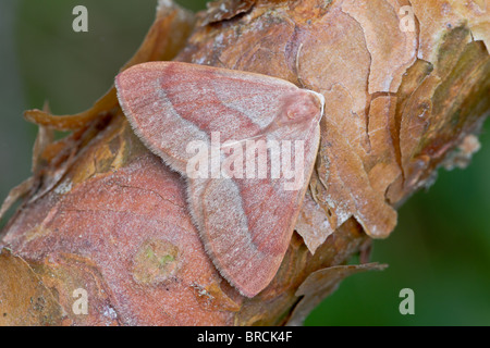 Rouge barré d'amphibien, Hylea, fasicaria au repos sur le pin sylvestre, Pinus sylvestris, écorce Banque D'Images