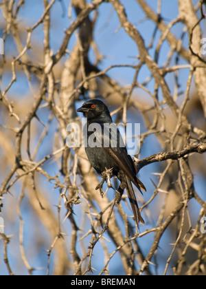 Pale-winged Starling (Onychognathus nabouroup) dans le Parc National de Waterberg, Namibie, Afrique Banque D'Images