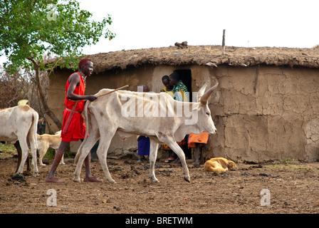 Masai Village avec bétail maigre à cause de la sécheresse, Masai Mara, Kenya, Afrique Banque D'Images
