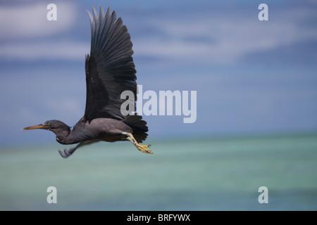 Egret aux Iles Cook Banque D'Images