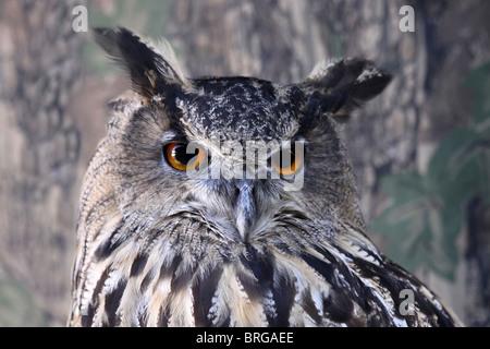 """Chef d'une captive d'Eagle Owl Bubo bubo à """"Animal Magic' Event, Martin simple WWT, Lancashire UK Banque D'Images"""