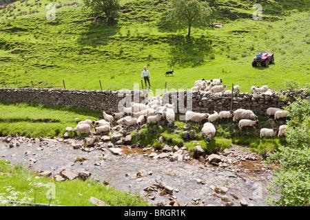 Un agriculteur dans le Yorkshire Dales National Park en arrondissant ses moutons dans le village de Muker, Swaledale, Banque D'Images