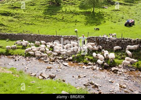 Un agriculteur dans le Yorkshire Dales National Park rassembler ses brebis en regard de la paille Beck dans le village Banque D'Images