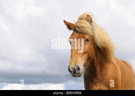 Portrait de cheval islandais, Vik, Sud de l'Islande, Islande Banque D'Images