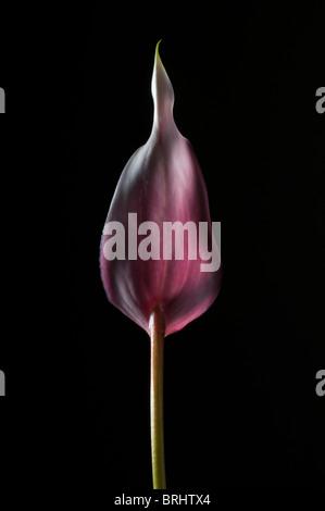 Lily rose sur fond noir rétroéclairé Banque D'Images