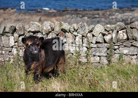 Vache Highland bébé, Isle of Harris, Hébrides extérieures, en Écosse Banque D'Images