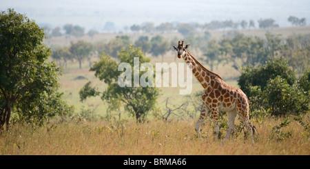 Balades sur la girafe sur la savane dans un soleil de midi. Banque D'Images