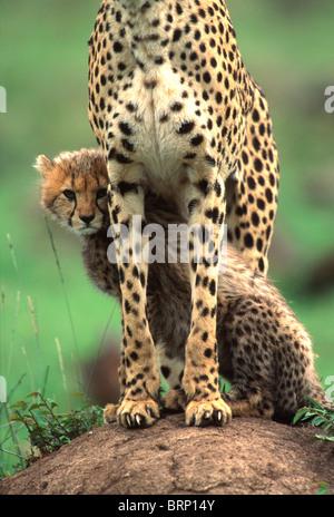 Cheetah cub assis à côté de sa mère Banque D'Images