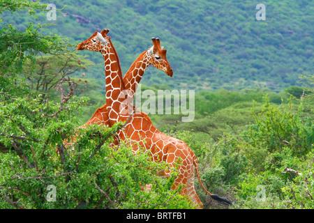 Lutte de deux girafes. L'Afrique. Au Kenya. Samburu national park. Banque D'Images
