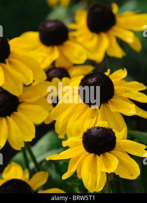 Rudbeckia hirta 'toto' citron black-eyed susan or jaune fleur fleur fleur vivace vivace la moitié de la fin de l'été Banque D'Images