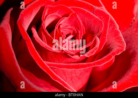 Belle romantique rose rouge close-up. Focus sélectif. Banque D'Images