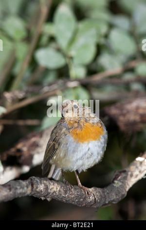 Tout véritable oiseau sur son premier vol hors du nid. Erithacus rubecula aux abords, Robin Banque D'Images