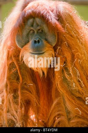 L'orang-outan mâle mature Banque D'Images