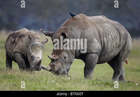 White Rhino mère et baleineau prises dans le lac Nakuru, Kenya Banque D'Images