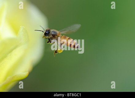 Flying-bee Banque D'Images