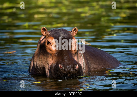 L'hippopotame commun dans l'eau de l'Afrique. Banque D'Images
