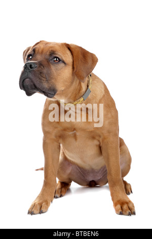 Race croisée Dogue de Bordeaux puppy isolated on white Banque D'Images