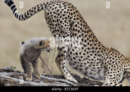 Femelle Guépard (Acinonyx jubatus) cub avec marquage. Banque D'Images