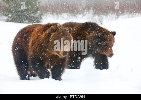 Une paire d'ours bruns adultes promenade dans la neige qui tombe à l'Alaska Wildlife Conservation Center, Portage, Alaska, captive Banque D'Images