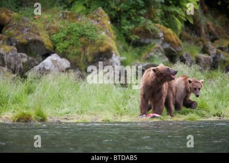 Brown Bear sow avec les anciens cub la consommation de saumon sur un ruisseau près de la banque, du Prince William Banque D'Images